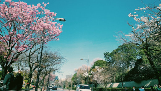 📷 桜はまだ咲いたばかり🌸